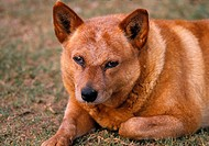 Red Cattle dog