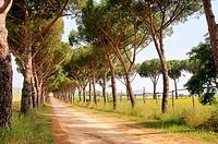 Pinienallee _ pine avenue 05