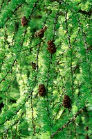 close_up of coniferous tree branch with cones