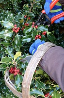 European Holly Ilex aquifolium berries and leaves, being cut with secateurs, collected in trug for christmas decoration, Norfolk, England, december