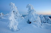Snow-covered pines at dusk, Mt. Brocken, Harz, Saxony-Anhalt, Germany, Europe