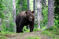 Brown Bear (Ursus arctos), adult male, Karelia, Eastern Finland, Finland, Europe