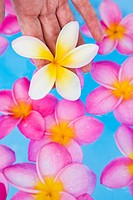 Womans hand holding a frangipani flower above a blue pool full of pink flowers