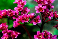 Bergenia cordifolia is a perennial with heart shaped foliage and beautiful magenta flowers.