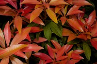 Pieris Cultivar, Pieris, Orange subject.