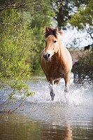 brown horse in water
