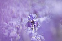 Blooming field of German Iris Iris germanica, cultivated bio_dynamically in the mountains of the border area of Tuscany and the Apennines, Italy, Euro...