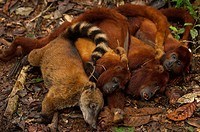 Bushmeat hunted by Huaorani Indians. Gabaro Community. Yasuni National Park, Amazon rainforest, Ecuador. South American Coati Nasua nasua, and three R...