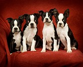 Photo of four Boston Terrier Puppies