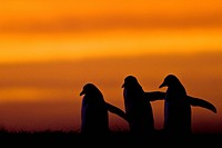 Falkland Islands, Sea Lion Island. Gentoo Penguin Pygoscelis papua silhouettes at sunrise.