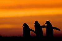 Falkland Islands, Sea Lion Island. Gentoo Penguin Pygoscelis papua silhouettes at sunrise.
