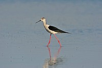 Black_winged Stilt Himantopus himantopus, Burgenland, Austria, Europe