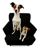 Two Jack Russell Terriers sitting on a black chair isolated on a white background.