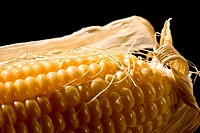 macro picture of freshly golden corn