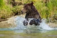 USA, Alaska, Katmai National Park, Grizzly Bear Ursus arctos runs while fishing in salmon spawning stream along Kuliak Bay