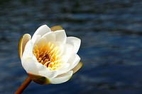 Water lily on the lake background