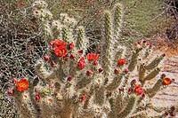 CA, Anza_Borrego Desert State Park, Wolf´s cholla