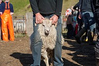 Farmer leading a sheep, sorting of sheep, bringing down sheep in Kirkjubæjarklaustur, South Iceland, Iceland, Europe