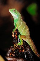 Chinese water dragon, Thai water dragons, green water dragons Physignathus cocincinus, young animal, native to Asia, captive, North Rhine_Westphalia, ...
