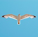 Flying seagull on the blue sky background.