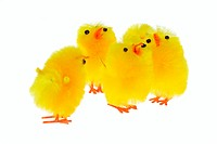 yellow chicklings photo on the white background