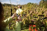 Grape picking /GrapeHarvest