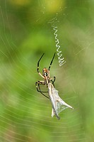 USA, Texas, Austin. Yellow garden spider perches in a web with grasshopper prey. Credit as: Dave Welling / Jaynes Gallery / DanitaDelimont.com