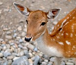Portrait of a young Doe Fallow Deer.