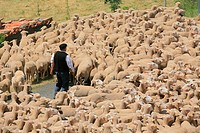 Tradicional sheep saving in Brieva transhumancia festival during spring time. Demanda range mountain range, Demanda mountains, Brieva village, La Rioj...