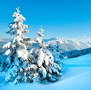 winter rime and snow covered fir trees on mountainside Carpathian Mountains, Ukraine, photo in square proportions