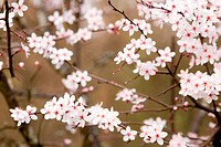 delicate plum tree pink blossom in springtime