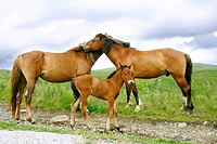 Horses family in the Carpathian Mountains