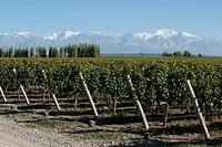 Vineyard in the Uco Valley, Mendoza region, Argentina