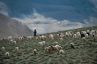 A Ladakhi nomad looks over his herd of sheep