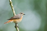 Common redstart (Phoenicurus phoenicurus), Meppen, Emsland, Lower Saxony, Germany, Europe