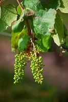 jungen Trauben auf einem Weinberg