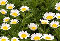 spring flowers daisy background against foliage