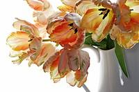 Tulip, Tulipa, Parrot tulip.