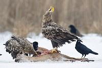 White_tailed Eagles at carrion / Haliaeetus albicilla