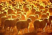 Her of Sheep at Sunset