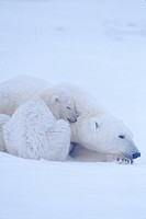 Polar bear with her cub _ Canada