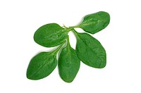 Baby Spinach on white background