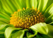 Chrysantemum flower close_up shot