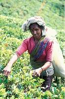 Eine Gummi Pflueckerin Gummibaum Plantagen von Hikkaduwa im suedwesten von Sri Lanka in Asien.