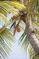 A coconut hangs from a palm tree.