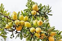 Argania spinosa, Argan