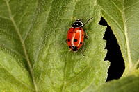 Lady bug, or ladybird, on sunflower leaf, close up.