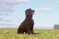 Irish Water Spaniel, adult sitting, seen side_on