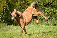 Islandic Horse_crossbreed frolicking on a meadow