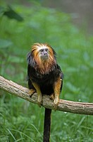 Golden Headed Lion Tamarin, leontopithecus chrysomelas, Adult standing on Branch